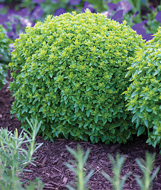 Basil, Boxwood, , large
